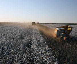 récolte dans un champs de coton BCI